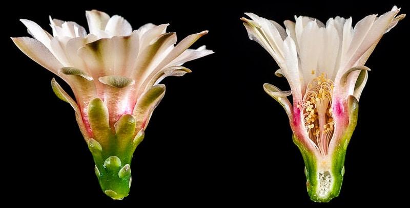 Gymnocalycium leptanthum. Coupe longitudinale d'une fleur