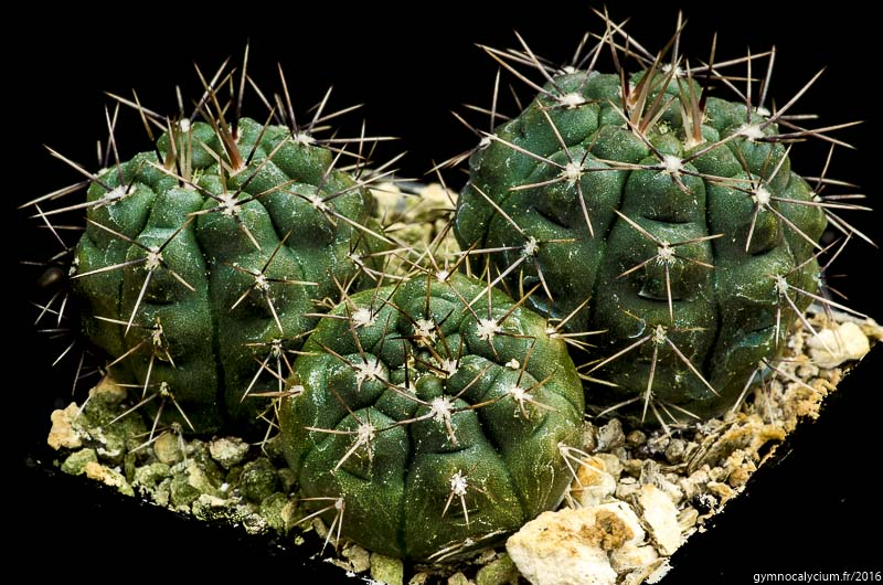 Gymnocalycium lukasikii v. emilii LB 312. west of Santa Rosa del Conlara, San Luis, Argentine. <br /> Sujets d'un an issus d'un semis de graines Ludwig Bercht réf. : 2015/3535