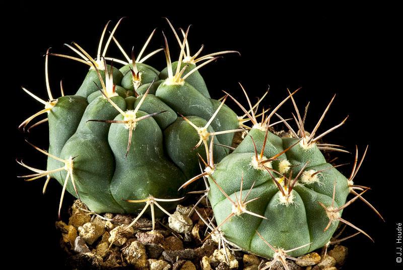 Gymnocalycium lumbrerasense FR 962