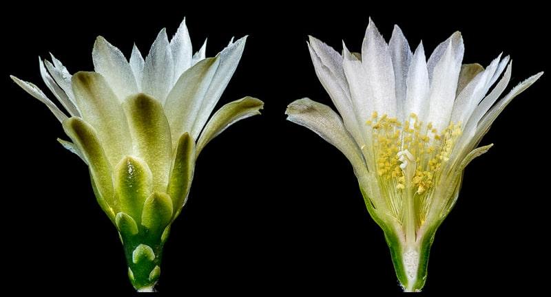 Coupe longitudinale d'une fleur de Gymnocalycium mardelplatense WP 59-73