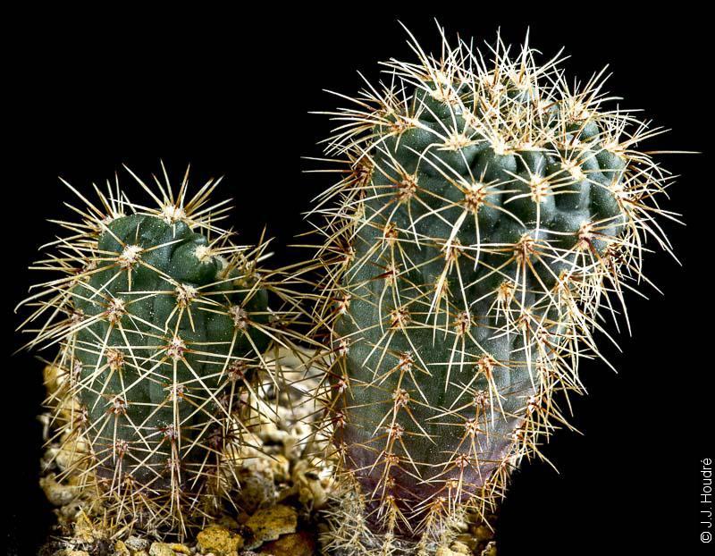 Gymnocalycium reductum ssp leeanum (hyptiacanthum v. mardelplatense WP 89-60/73)