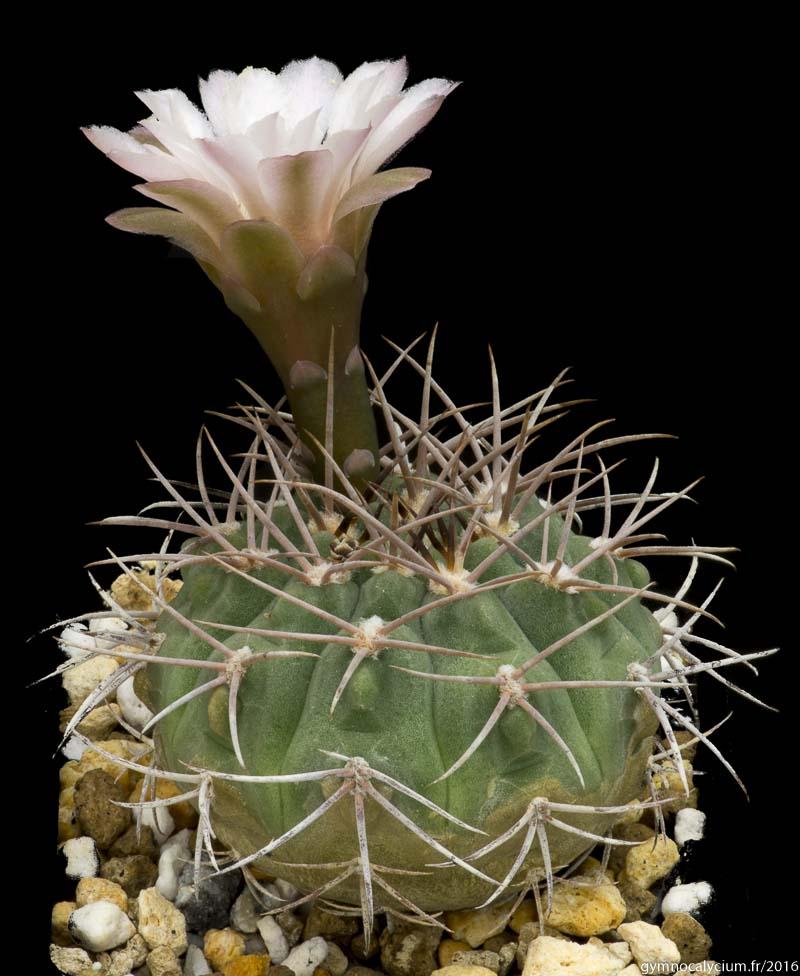 Gymmnocalycium mazanense P 30. Autre sujet du même semis.