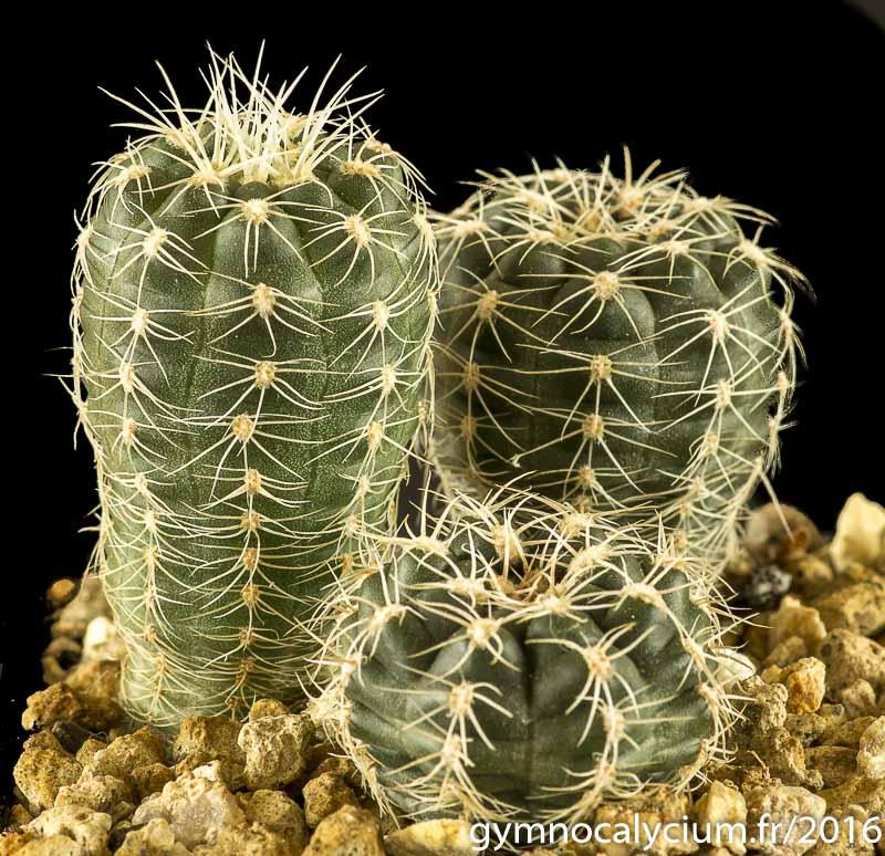 Gymnocalycium meregallii MM 1200