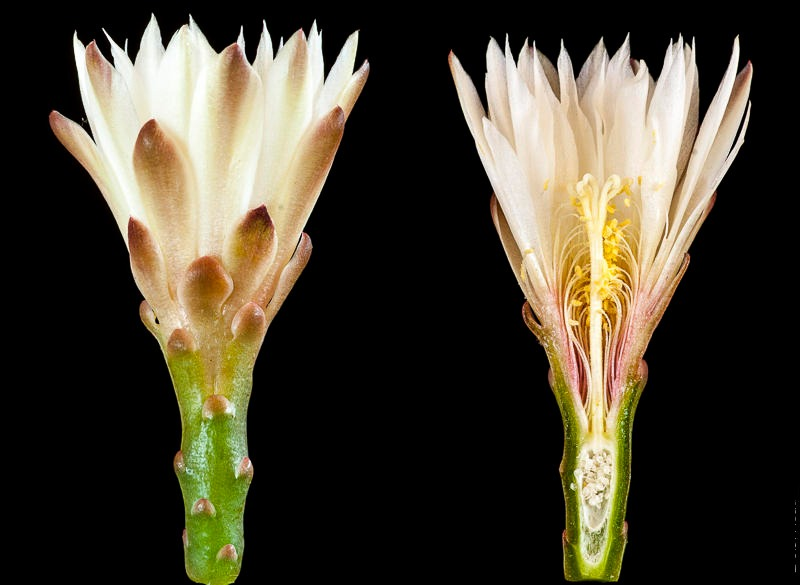 Coupe longitudinale d'une fleur de G. mesopotamicum