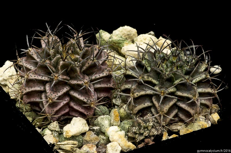 Gymnocalycium mihanovichii Vos 14-1563. Argentine; Formosa, Nord de Juarez, 190 m. <br />Sujets d'un an issus d'un semis de graines Schaedlich Volker réf. : 2015-1563