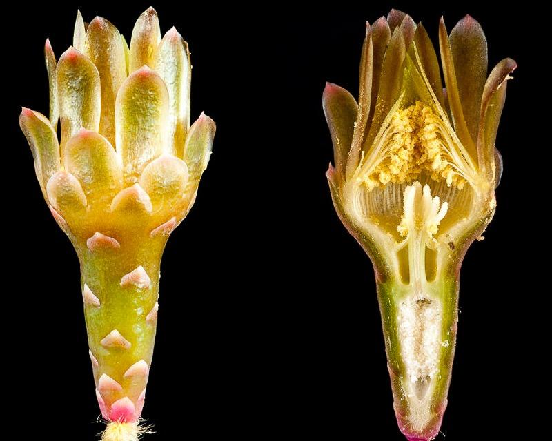 Gymnocalycium mihanovichii, coupe longitudinale d'une fleur