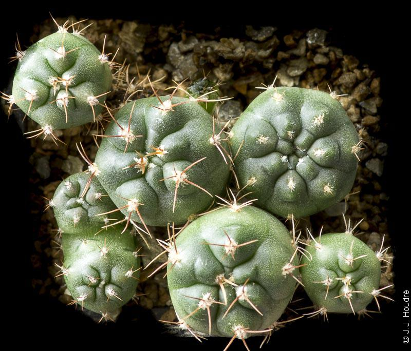 Gymnocalycium miltii WP 89-68/90