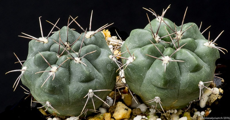 Gymnocalycium fischeri (miltii WP 89-68/90). Mêmes sujets à 4 ans.