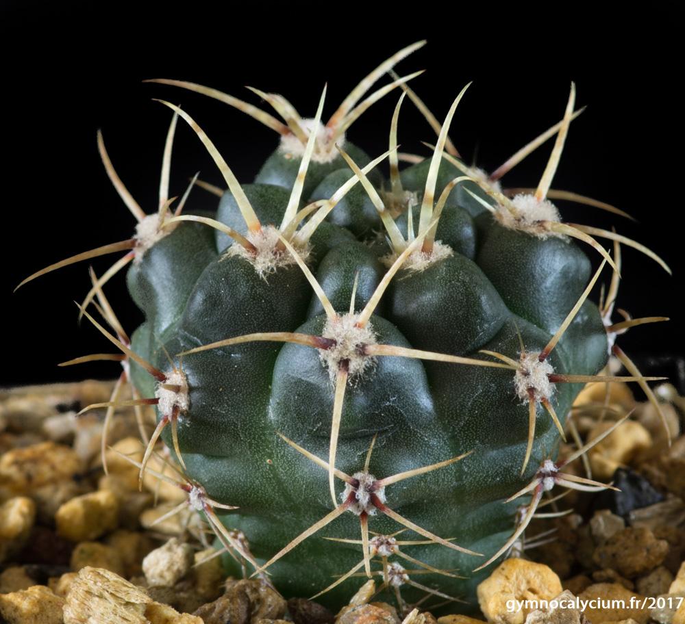 Gymnocalycium monvillei RFPA 319.01