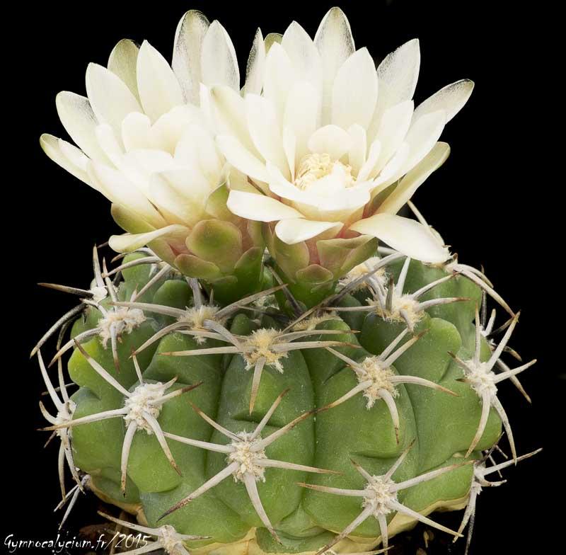 Gymnocalycium mostii ssp mostii P 84