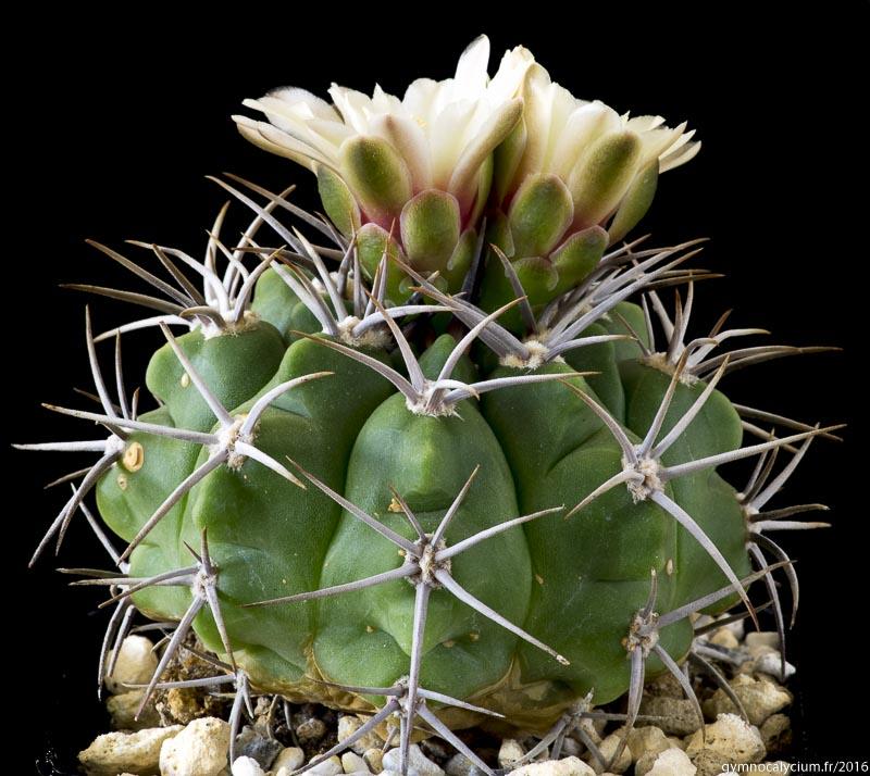 Semis de Gymnocalycium (cactus) - Page 3 480-mostii-ssp-mostii-p84-16070902