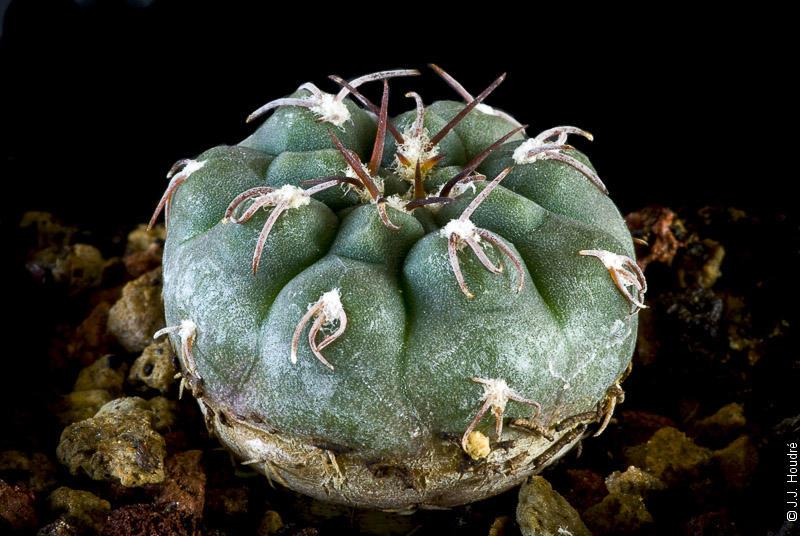 Gymnocalycium mucidum v. ferrarii P 136