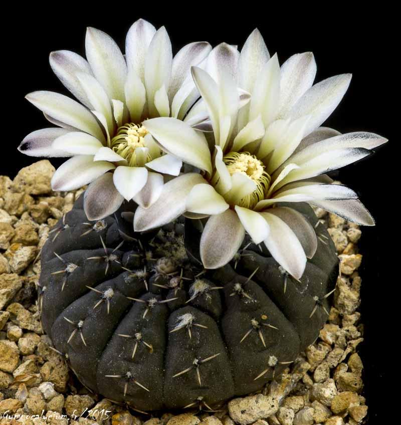 Gymnocalycium quehlianum (obductum P 121)