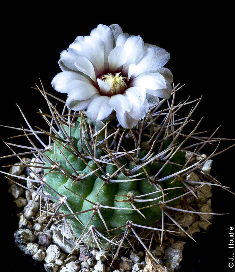 Gymnocalycium ochoterenae v. scoparium GN 859/2839