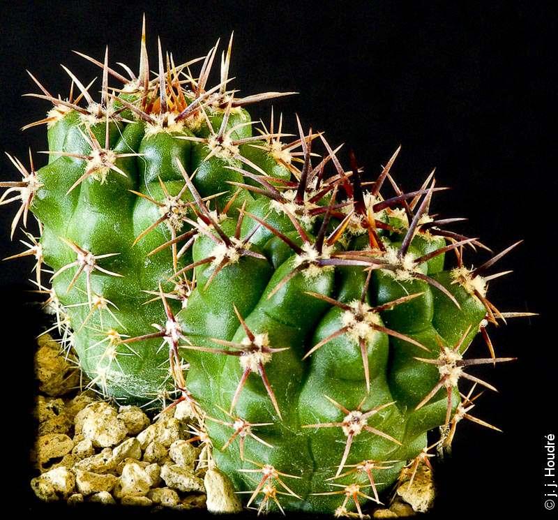 Gymnocalycium achirasense v. orientale