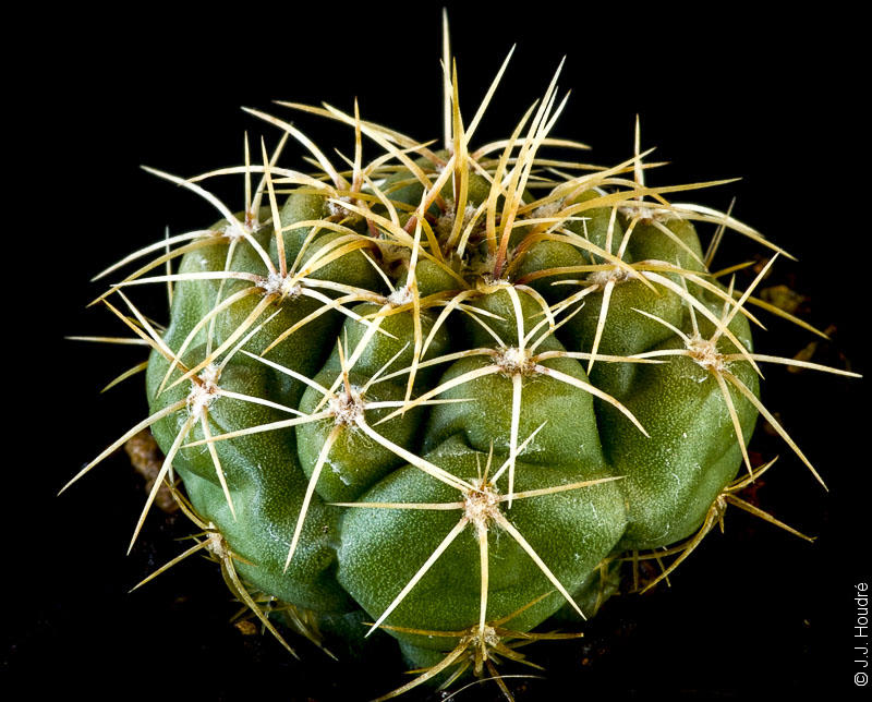 Gymnocalycium ourselianum