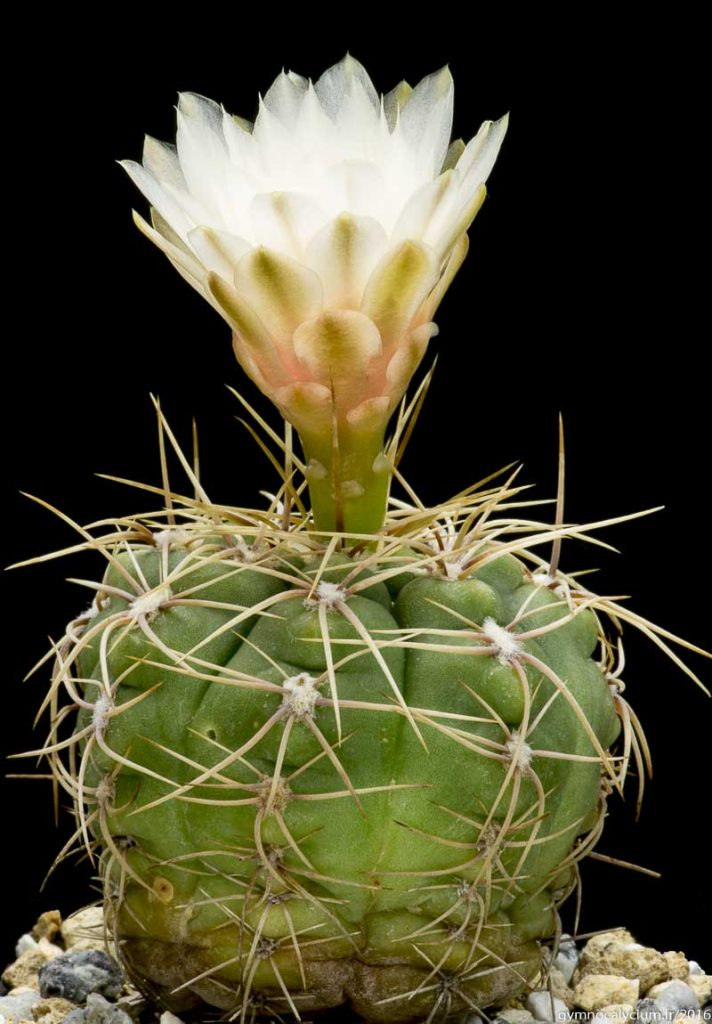 Gymnocalycium ourselianum (monvillei). Même sujet à 10 ans.