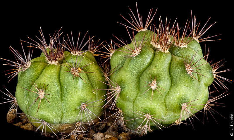 Gymnocalycium paediophilum FR 1177