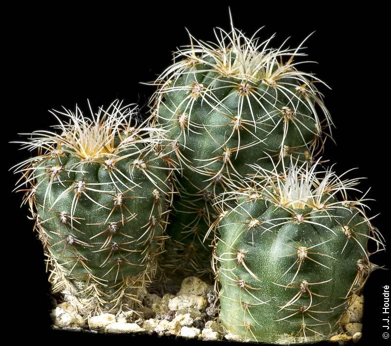 Gymnocalycium papschii WP 89-83/111