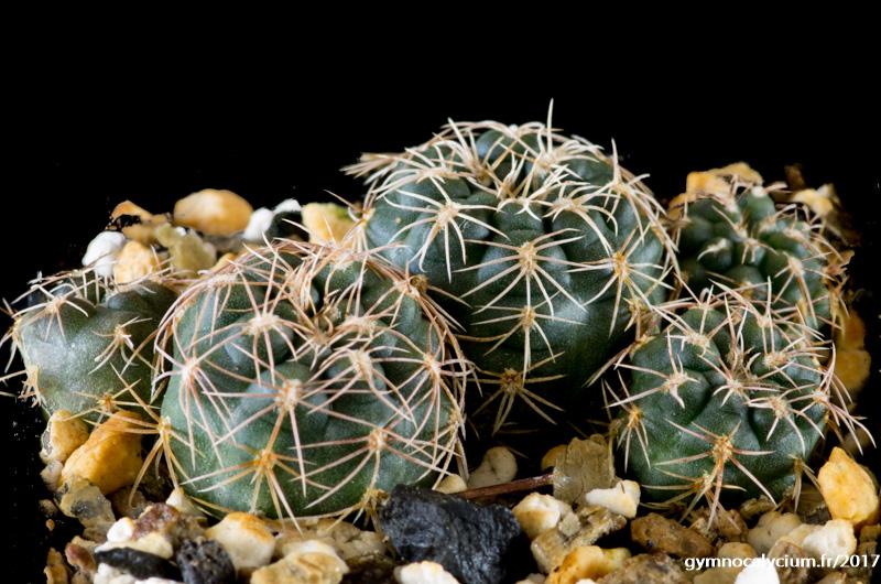 Gymnocalycium parvulum ssp agnesiae MM 818