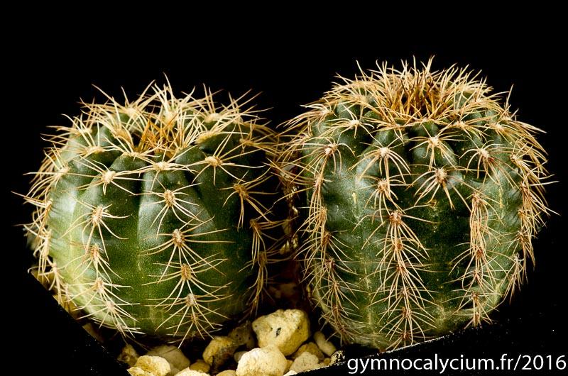 Gymnocalycium parvulum ssp huettneri Vos 10-749