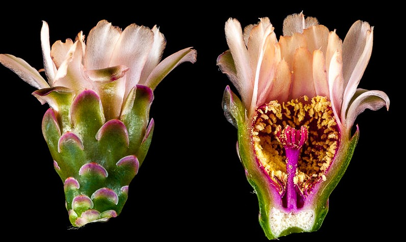 Gymnocalycium pflanzii ssp zegarrae (v. albipulpa)