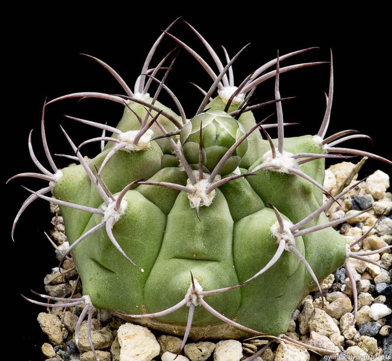 Gymnocalycium pflanzii ssp argentinense P 240. Même sujet que ci-dessus à 9 ans.