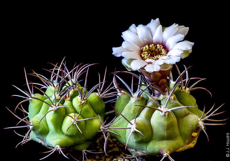 Gymnocalycium pflanzii ssp argentinense P 240. Jujuy, 600 m, Argentine. Sujets de 5 ans issus d'un semis de graines Kakteen Piltz réf. : 2007/4314