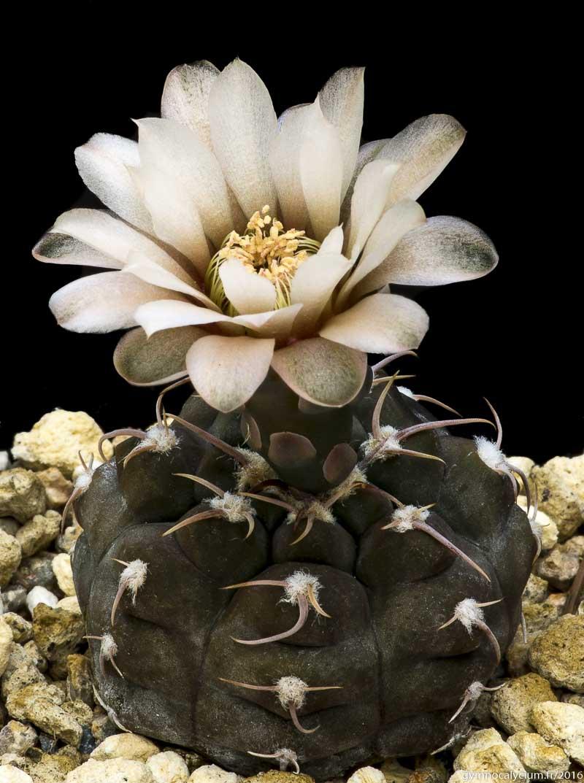 Gymnocalycium mostii ssp valnicekianum (prochazkianum VS 141.