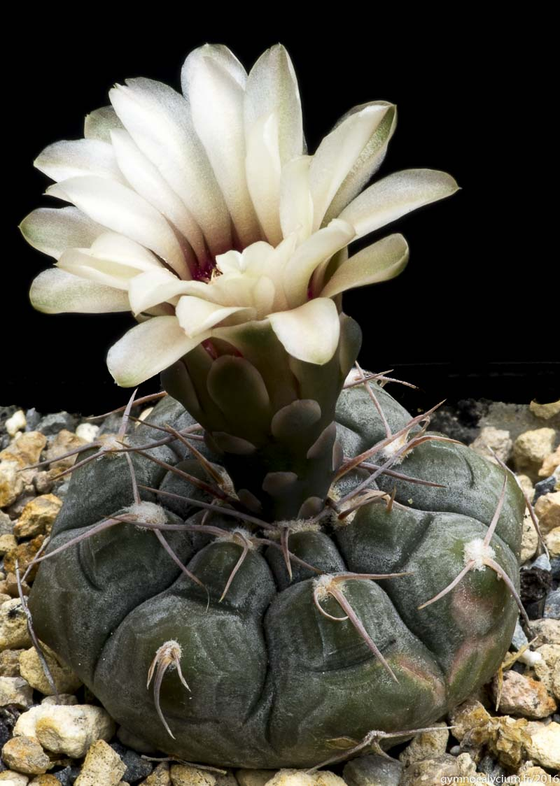 Gymnocalycium prochazkianum VS 141. Même sujet que ci-dessus à 9 ans.