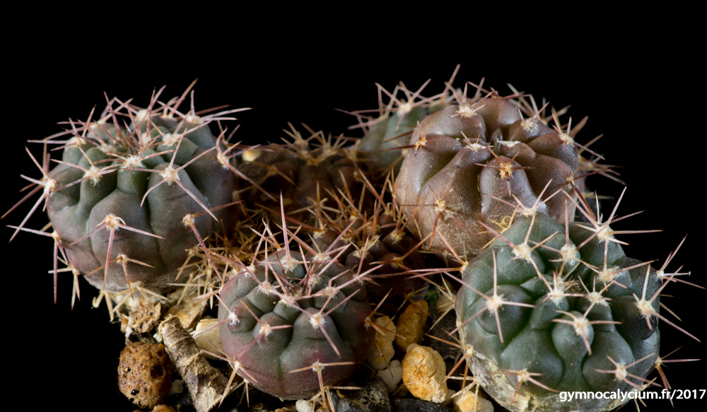 Gymnocalycium mostii ssp prochazkianum v. ivoi MM 891