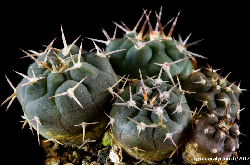 Gymnocalycium pugionacanthum sensu Till LF 27