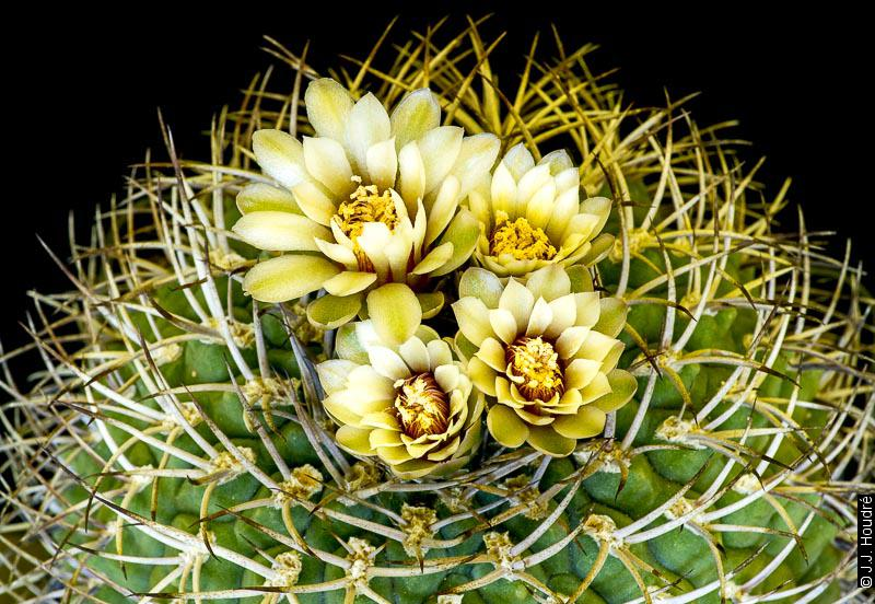 Gymnocalycium pugionacanthum.