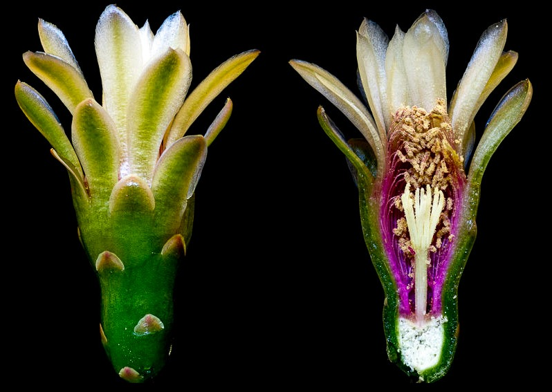 Gymnocalycium pugionacanthum. Coupe longitudinale d'une fleur.