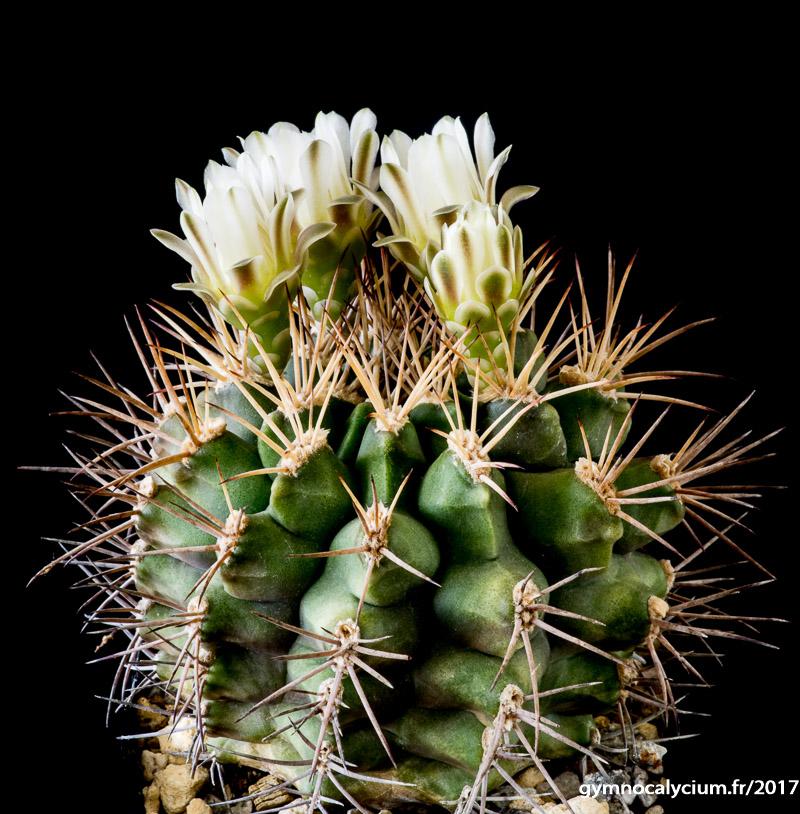 Gymnocalycium schickendantzii ssp schickendantzii (pungens)