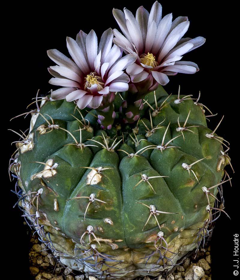 Gymnocalycium quehlianum v. flavispinum