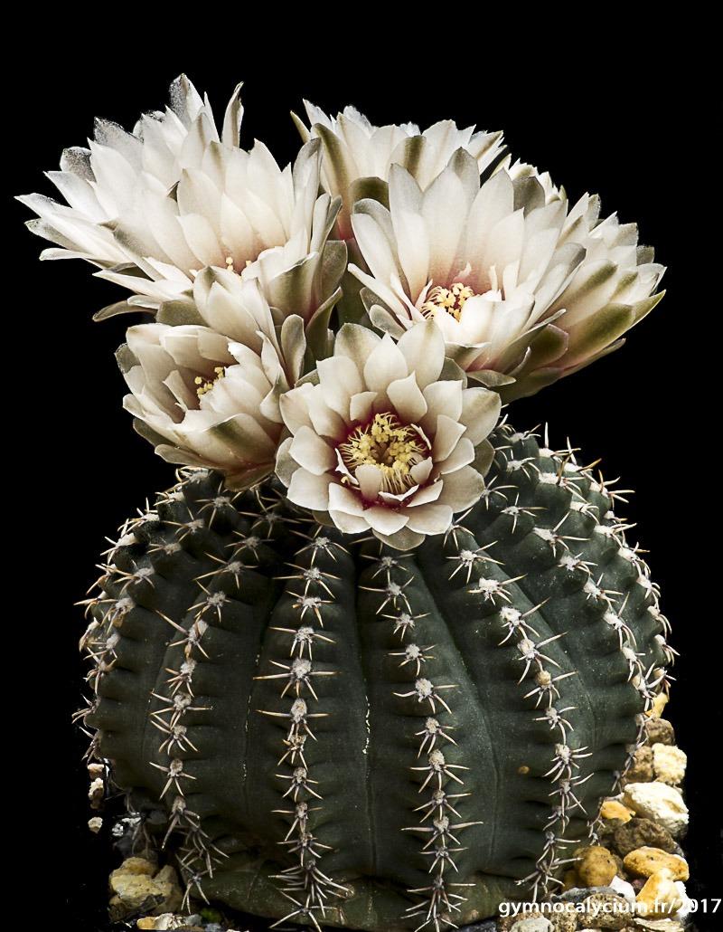Gymnocalycium quehlianum v. kleinianum