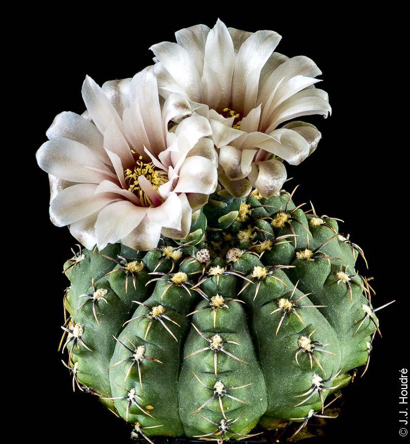 Gymnocalycium quehlianum v. kleinianum P 13b.