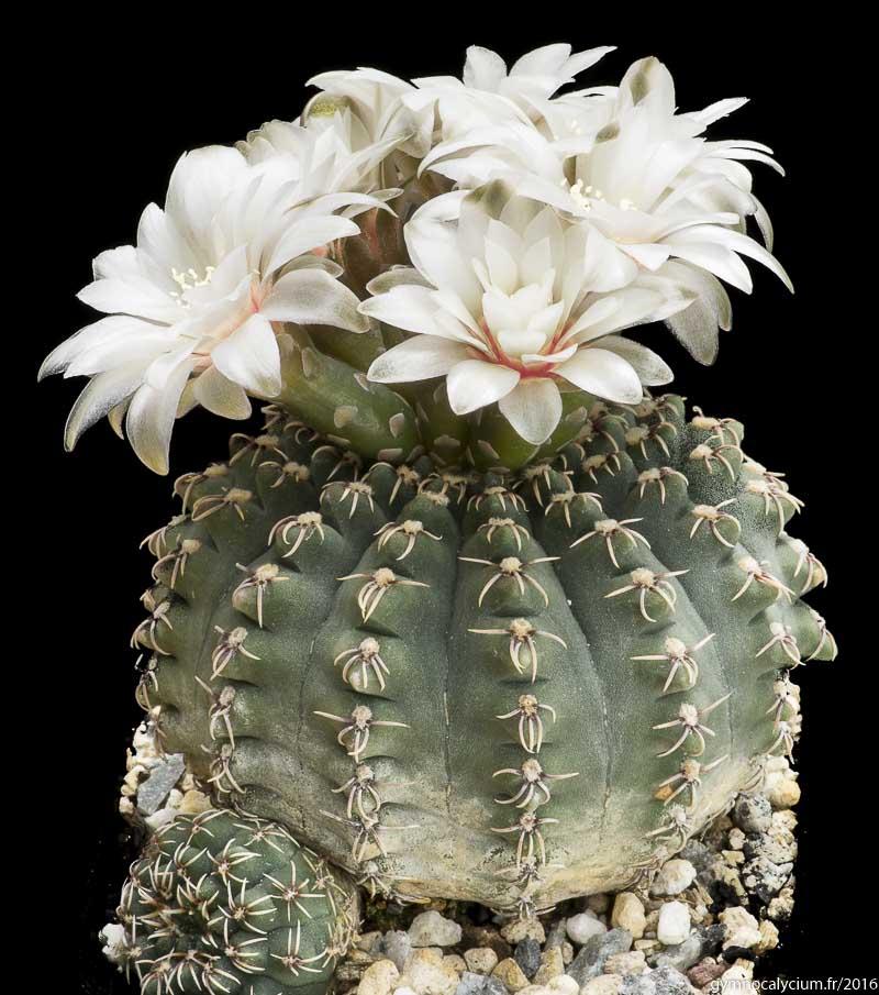 Gymnocalycium quehlianum v. kleinianum. Même sujet à 15 ans.