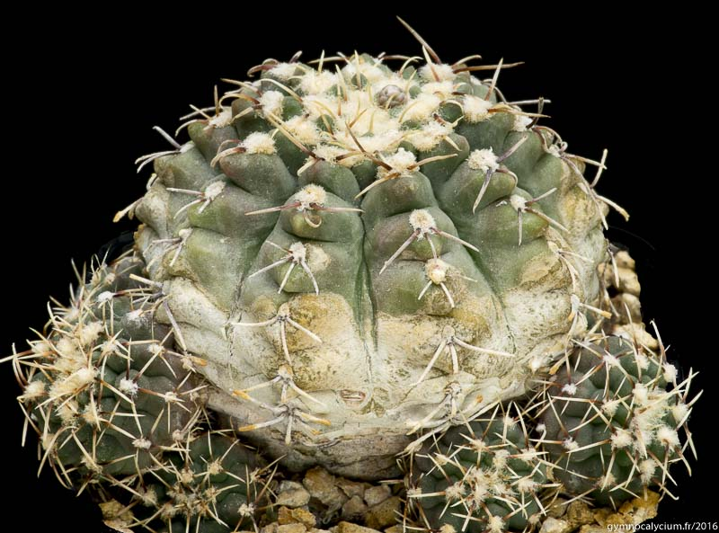 Gymnocalycium quehlianum v. zantnerianum G 276. Autre sujet du même semis à 9 ans.