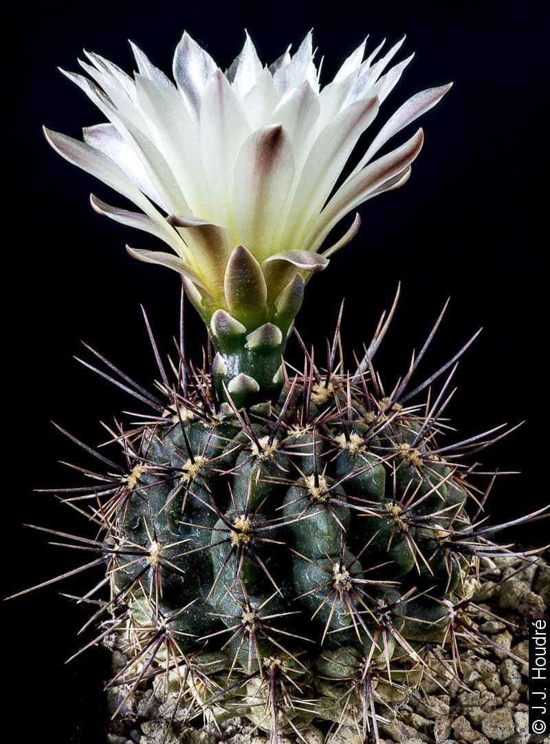 Gymnocalycium reductum v. leucodictyon WP 89/12-12