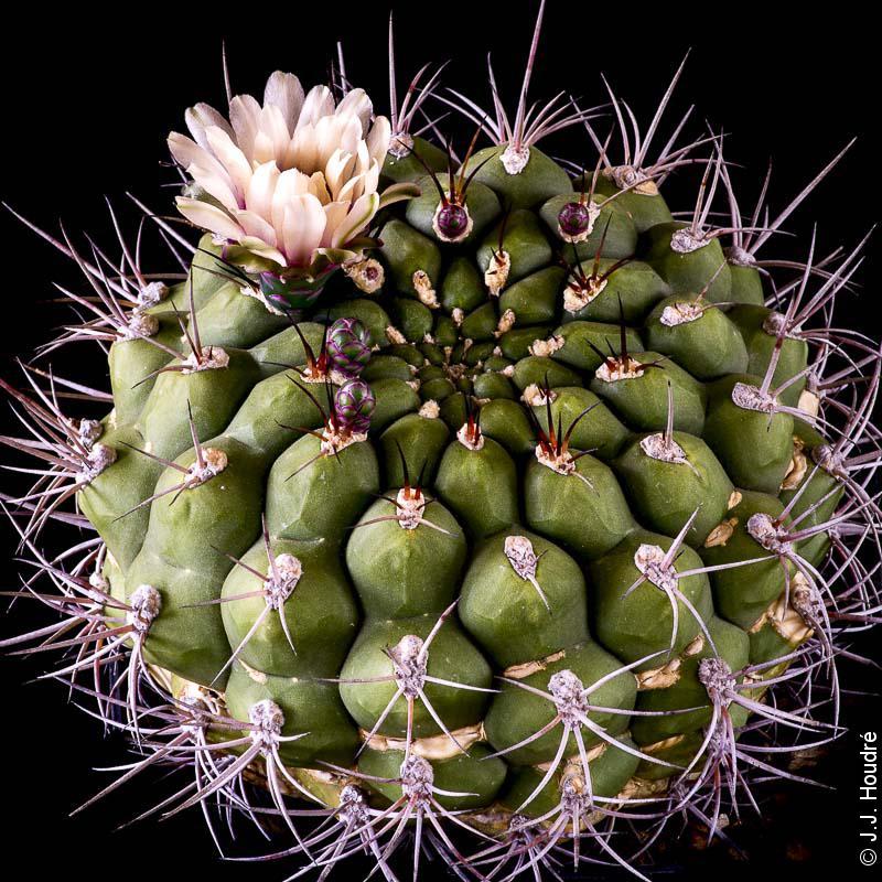 Gymnocalycium pflanzii ssp zegarrae (Riograndense)