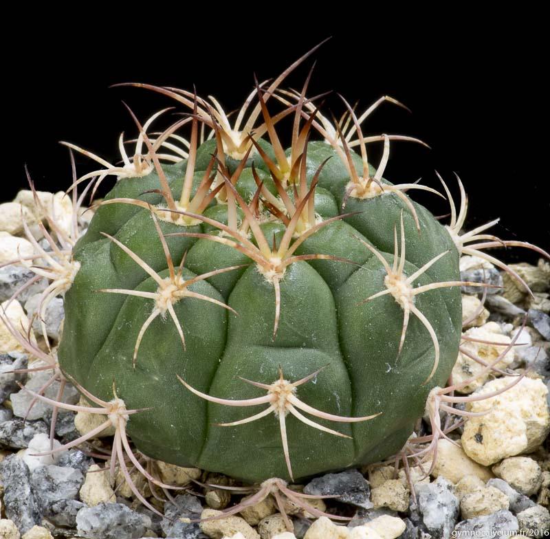 Gymnocalycium riograndense RH 2384c. Bolivie, Santa Cruz Vallegrande, Rio Grande, 1600 m. Sujet de 5 ans origine Didier Roux.