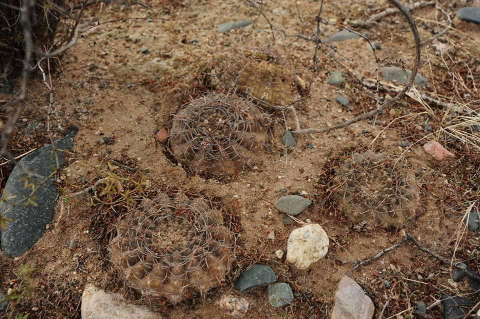 Gymnocalycium riojense ssp pipanacoense SL 21-13