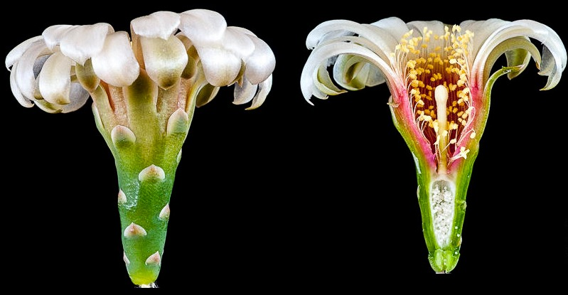 Gymnocalycium rosae BKS 111