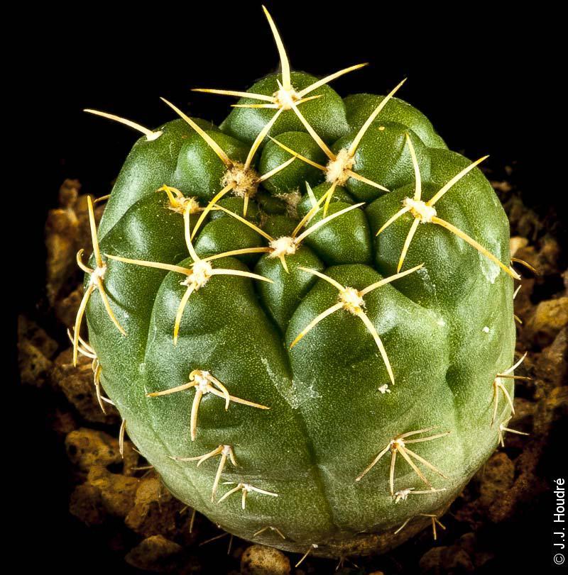 Gymnocalycium rosanthemum