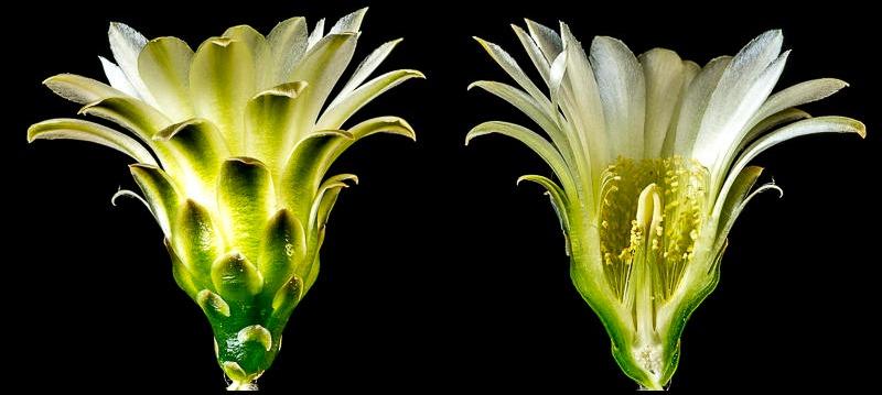 Gymnocalycium reductum ssp leeanum (schatzlianum P 93)