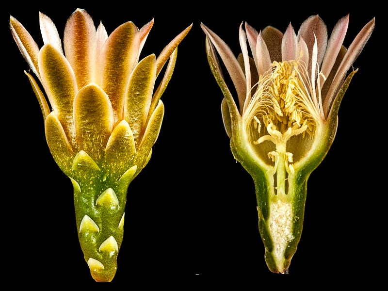 Gymnocalycium schickendantzii.