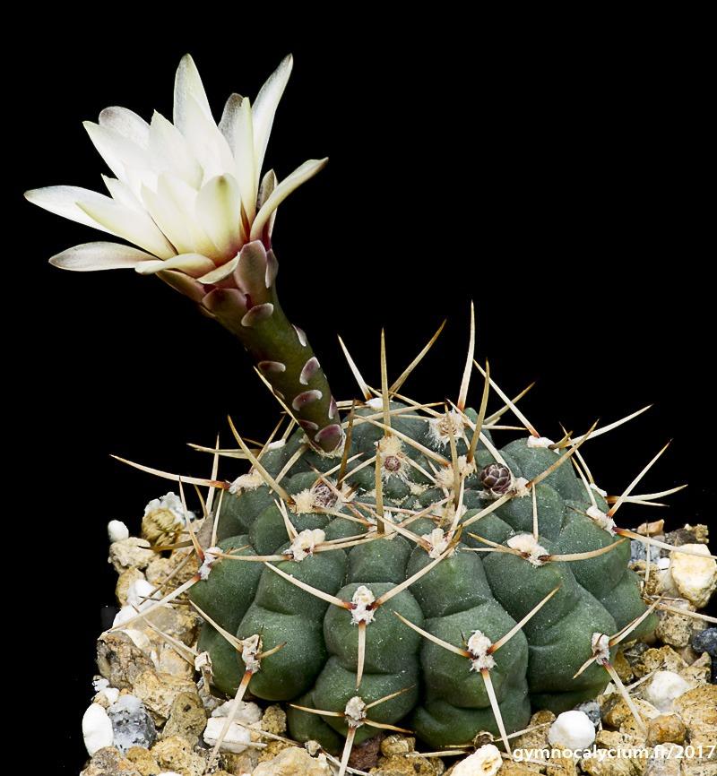 Gymnocalycium platense ssp paucicostatum (schroederianum ssp paucicostatum LB 960)