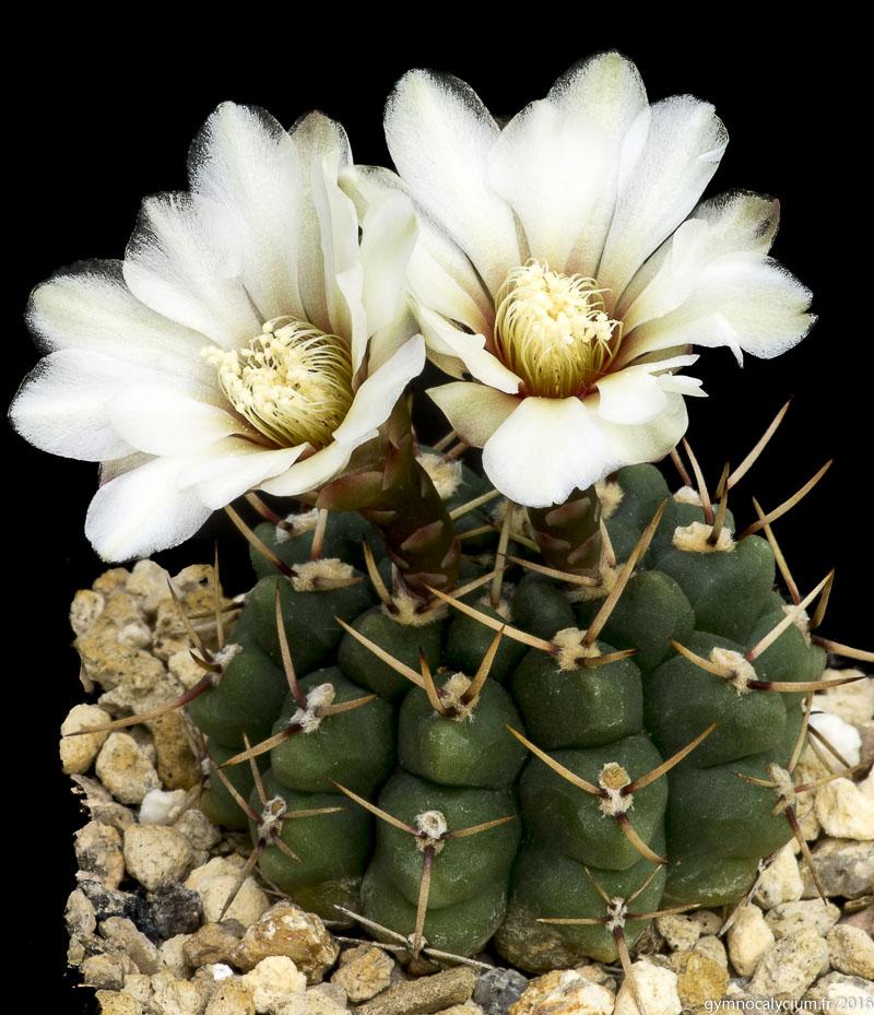 Gymnocalycium schroederianum ssp paucicostatum LB 960. Même sujet à 10 ans
